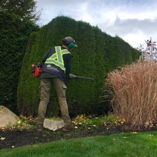 cedar hedging